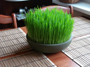 Wheat Grass use in Reverse your Diabetes Today